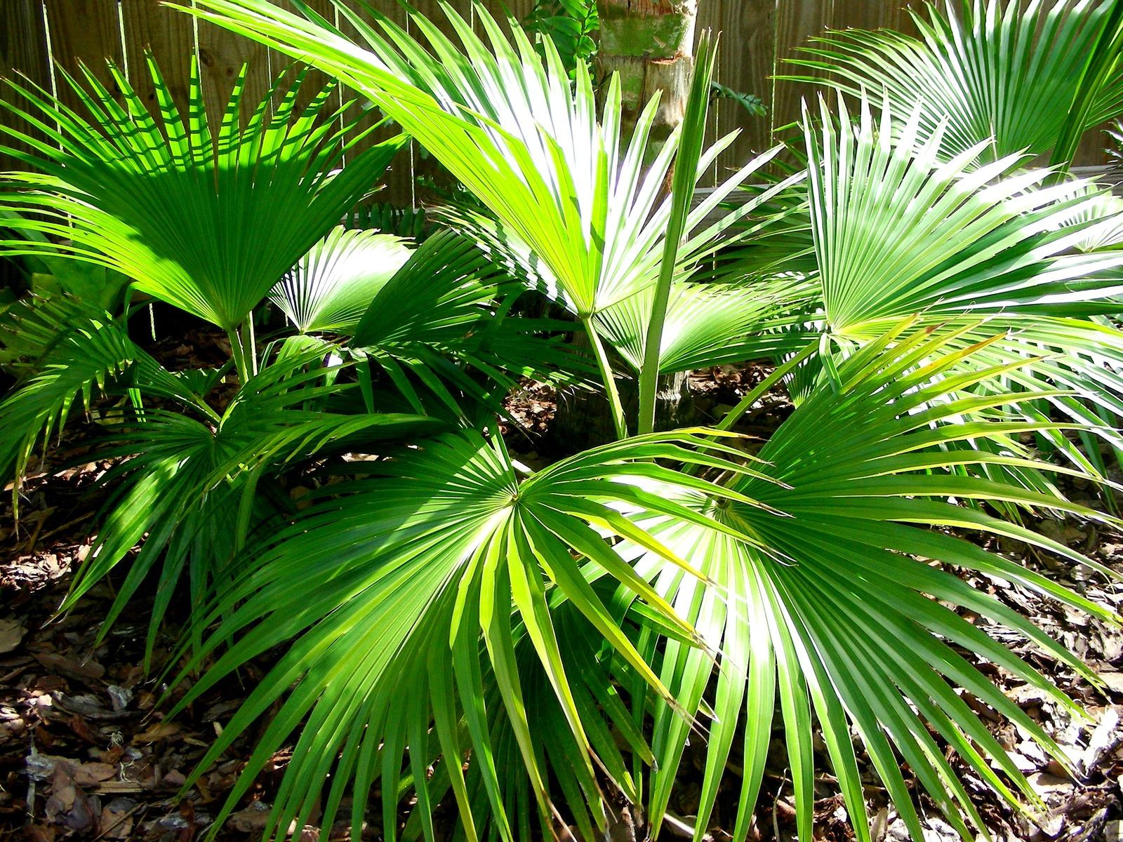 быть тренде, травянистые пальмы виды фото конструкция хороша тем