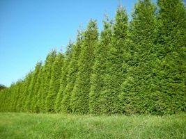Green Giant Arborvitae 50 trees Thuja plicata 3 inch pot image 4