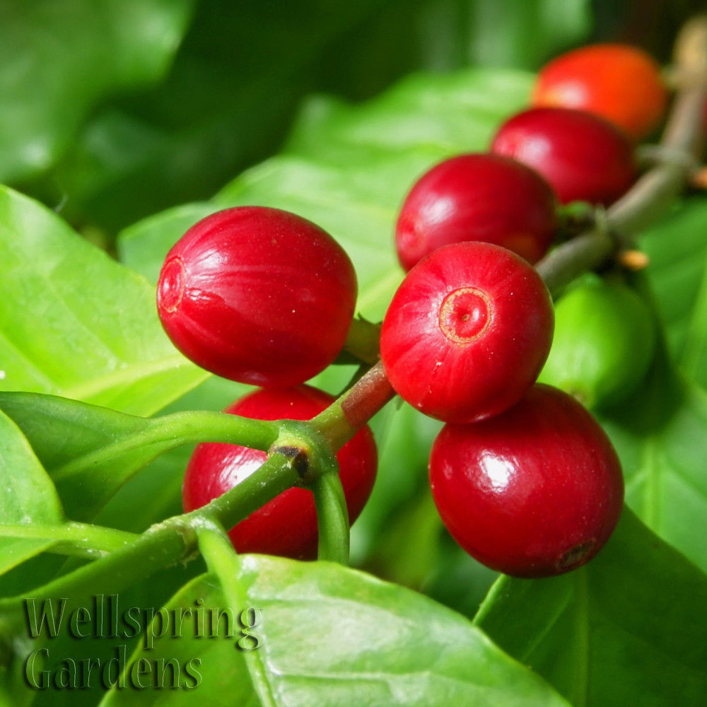Primary image for SHIP FROM US Coffee Live Plant Coffea Arabica House Plant tropical beans WSP2