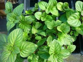 Live Plant Orange Mint Indoor Outdoor Garden Houseplant FREE SHIP - $50.00