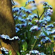 50 Blue Myosotis Sylvatica Seeds Forget-me-not Flower Garden Flowers - $13.58