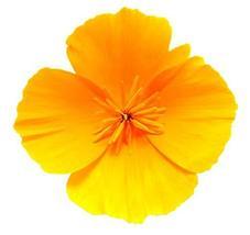 Sow No GMO Poppy California Yellow Non GMO Heirloom Flower Garden 200 Seeds - $3.53