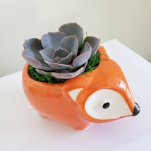 "Echeveria Morning Beauty in Fox Planter, Live Succulent Plant in 5"" Orange Pot image 3"