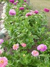 50 Seeds - Zinnia Art Deco Mix Flower - $9.80