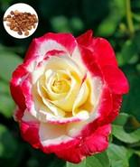 50 Nostalgia Red and White Rare Hybrid Rose Seeds, Rose Flower Home Gard... - $2.69