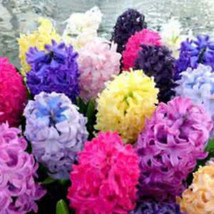 FF11 300pcs/lot Mixed Color Hyacinthus Orientalis Seeds Flower Easy Grow... - $2.38