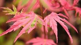 1 Starter Plant of Acer Palmatum 'Taylor' 15943 - Taylor Japanese Maple - $126.72