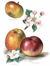 Vintage Fruit Prints: Braddicks Nonpareil - Fruit Growers Guide - 1880 - $12.95+