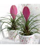 """HS Garden - 50 seeds Rare Tillandsia Cyanea """"Pink Quill"""" Bonsai Plants - $2.50"""
