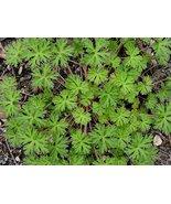 20 Carolina Geranium - Fresh Seeds - $8.49