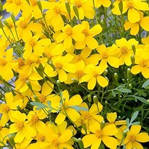 Mexican Mint Seeds | Tagetes Lucida Seeds | 5 seeds - $14.66