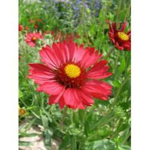 Burgundy Gaillardia Red Indian Blanket Flower 50 Seeds #SFB11 - $18.17