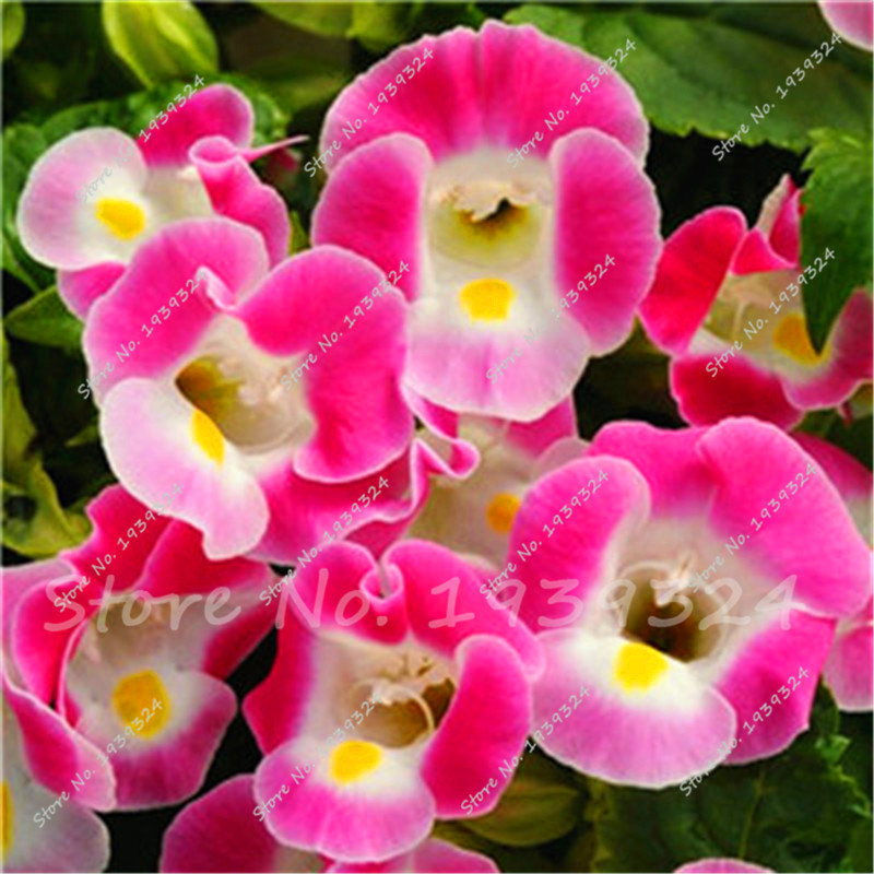 Gloxinia Perennial Or Annual