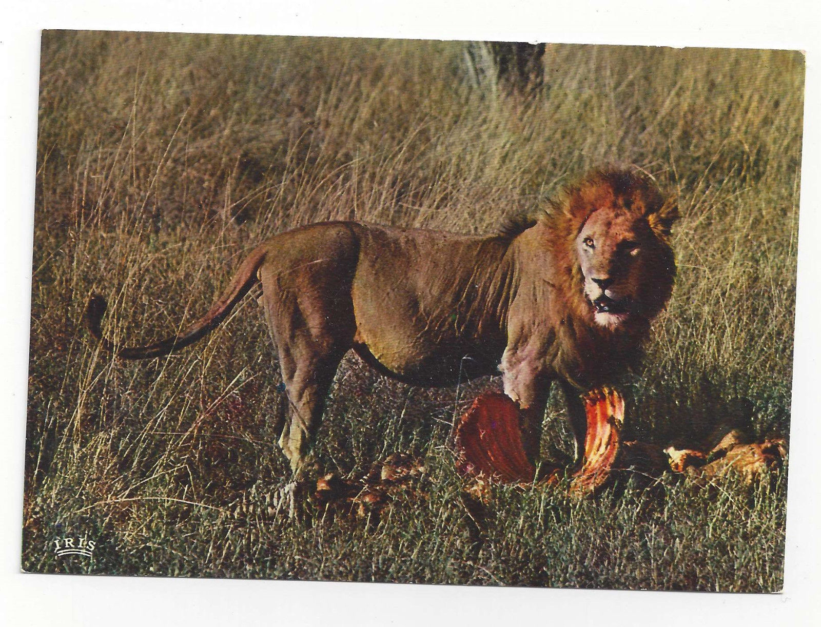 African Lion with Kill Lion's Repast Eating Vtg Continental Postcard 4X6