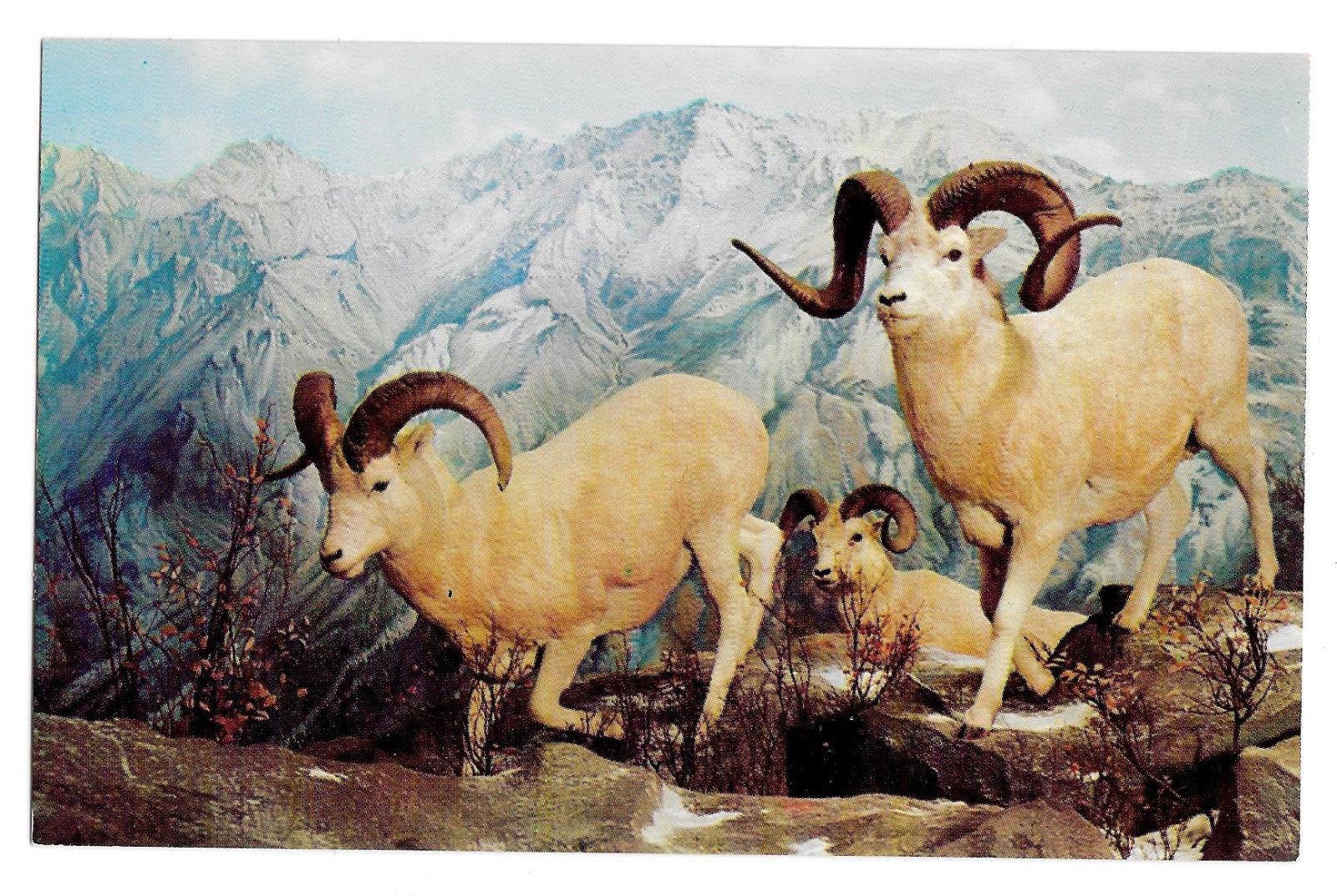 Alaska White Sheep Philadelphia Academy Natural Science Museum Exhibit Postcard