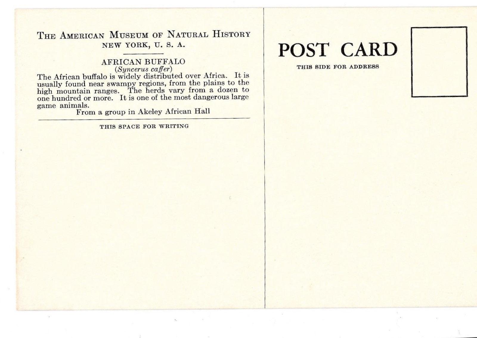 American Museum Natural History African Buffalo Exhibit Vtg Postcard