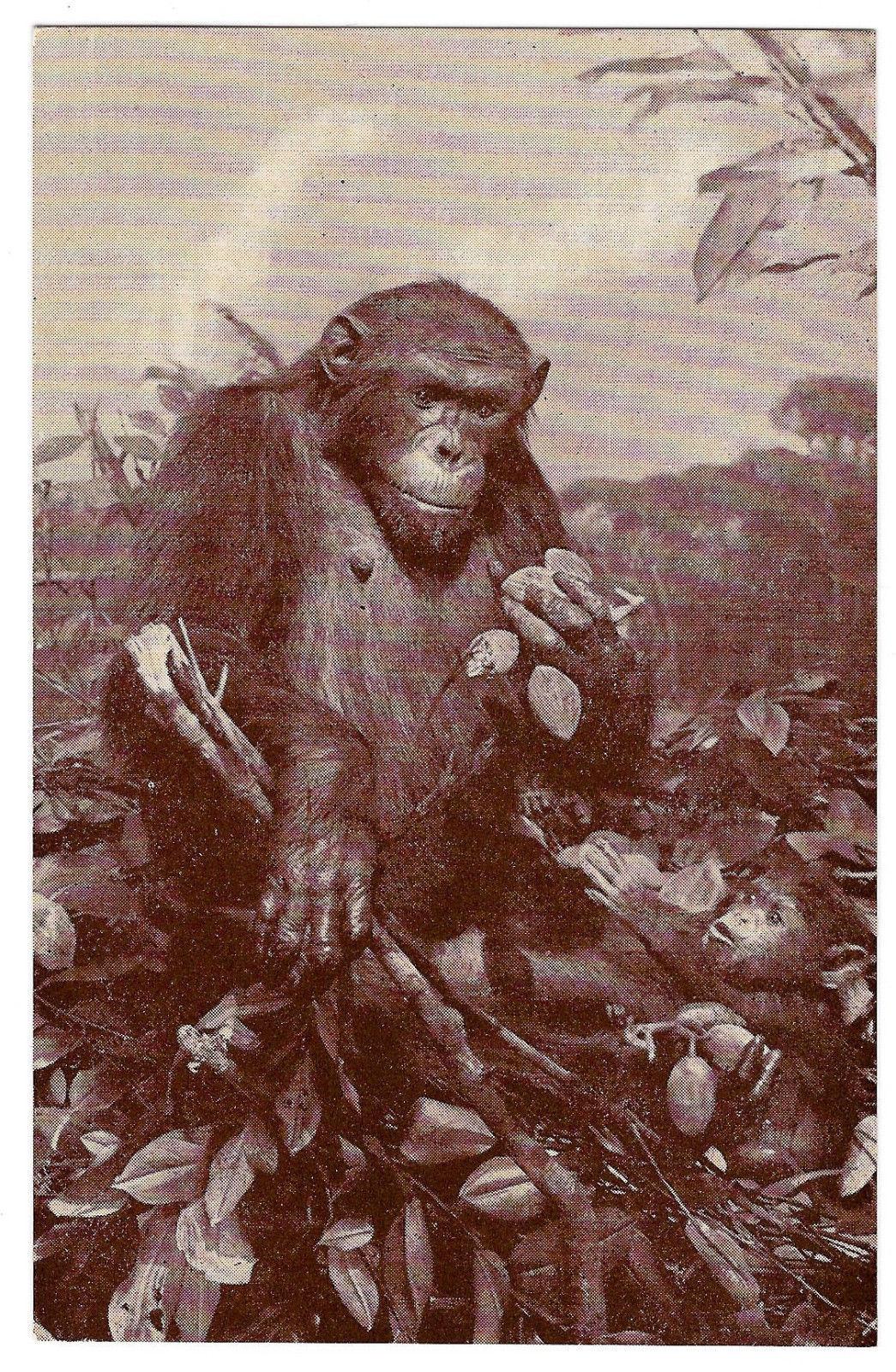 American Museum Natural History African Chimpanzee Exhibit Vtg Postcard Chimp