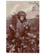 American Museum Natural History African Chimpanzee Exhibit Vtg Postcard ... - $6.36