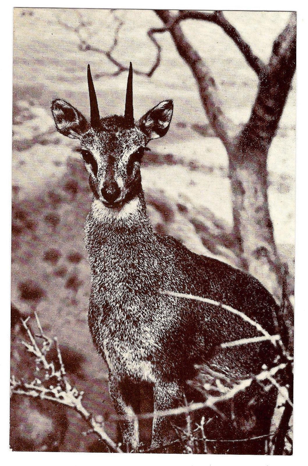 American Museum Natural History Klipspringer African Antelope Exhibit Postcard