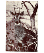 American Museum Natural History Klipspringer African Antelope Exhibit Po... - $6.36