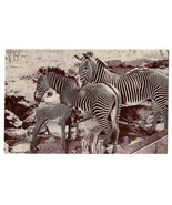 American Museum Natural History Grevy African Zebra Exhibit Vtg Postcard - $6.36