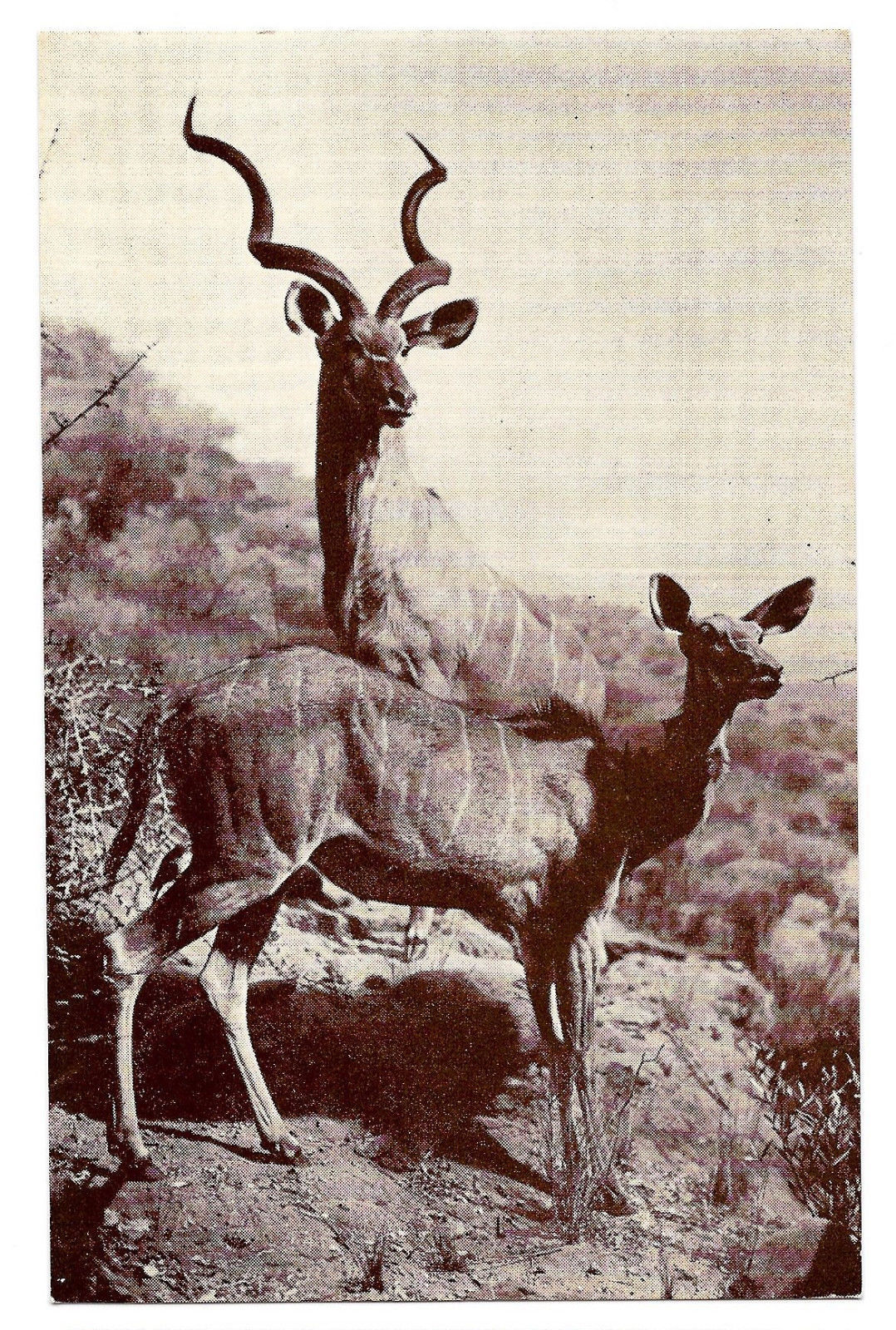 American Museum Natural History Koodoo Kudu African Antelope Exhibit Postcard