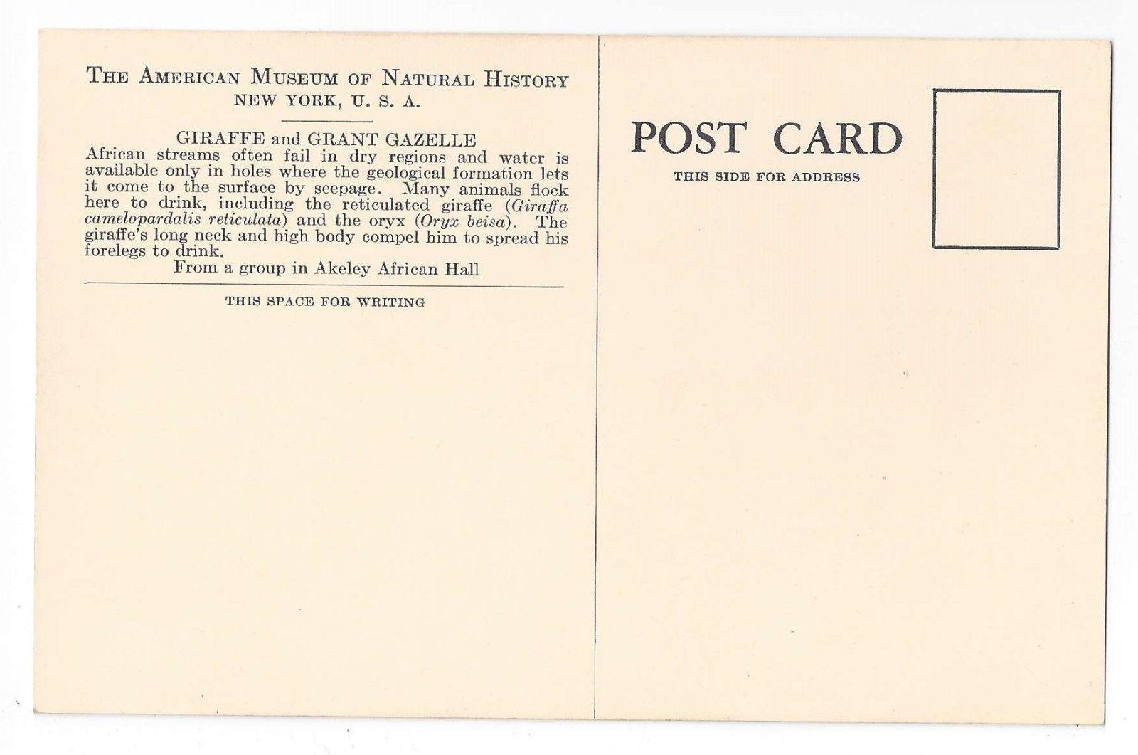American Museum Natural History African Giraffe Grant Gazelle Exhibit Postcard