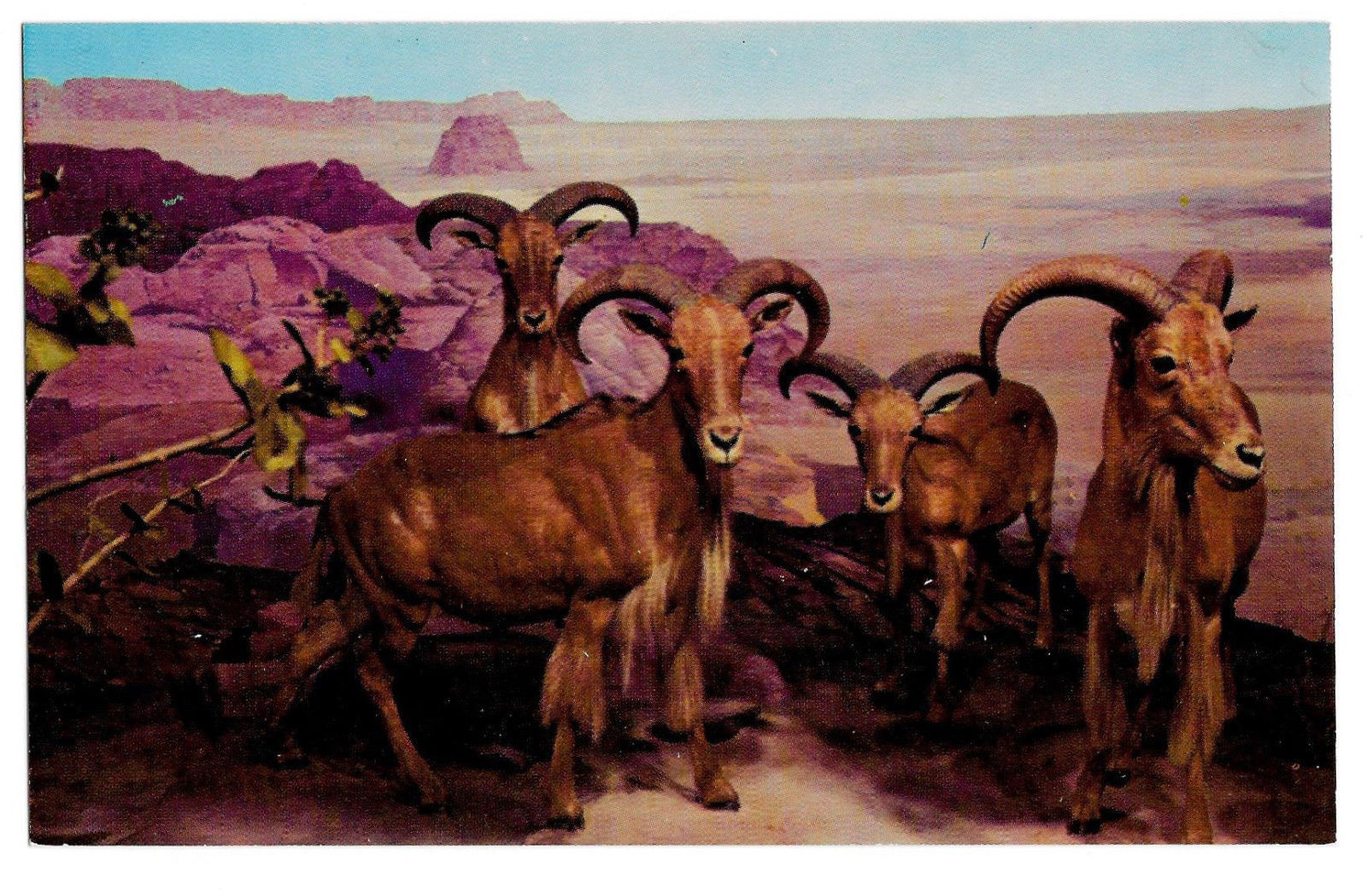 Barbary Sheep Philadelphia Academy Natural Science Museum Exhibit Postcard