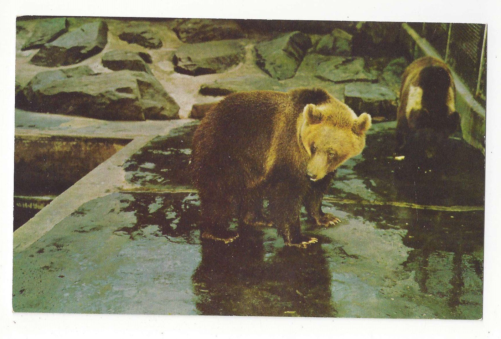 Brown Bear Washington DC National Zoo Vtg Postcard