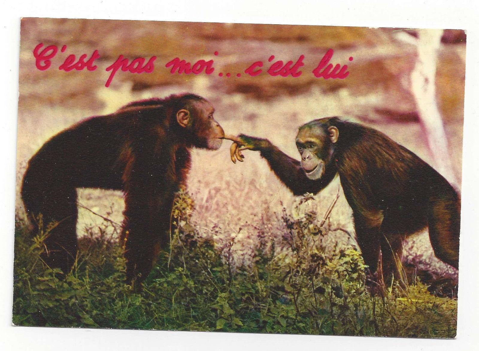 Chimpanzees Humor It's not me It's him Vtg Continental Postcard 4X6