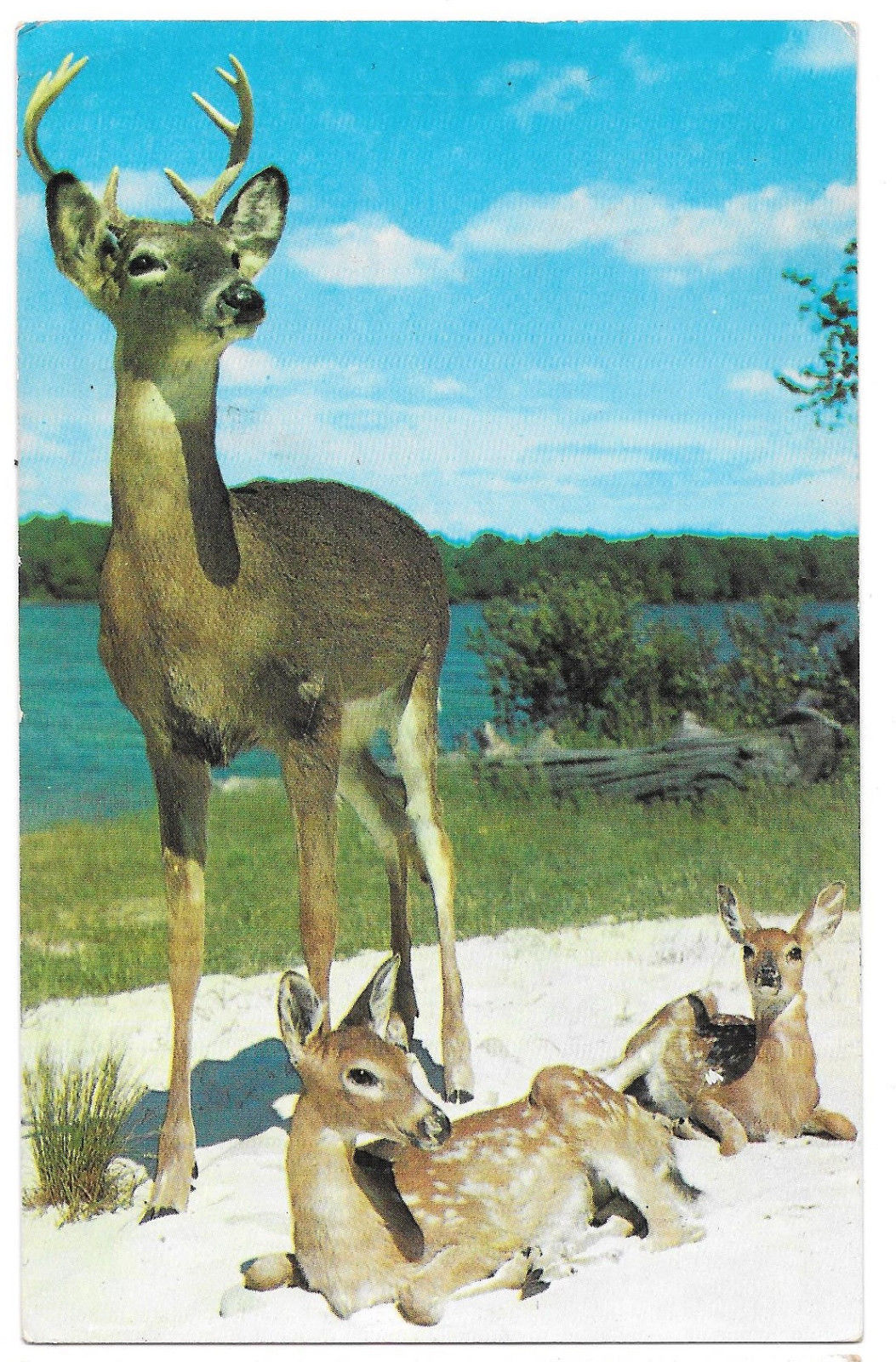 Deer Buck with Two Young Fawns Stag Calves Vtg Postcard