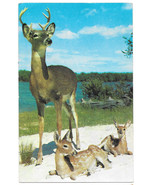 Deer Buck with Two Young Fawns Stag Calves Vtg Postcard - $6.36