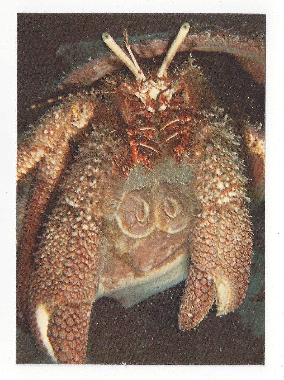 Giant Hemit Crab Caribbean Antilles Ocean Shellfish Vtg Chrome Postcard 4X6