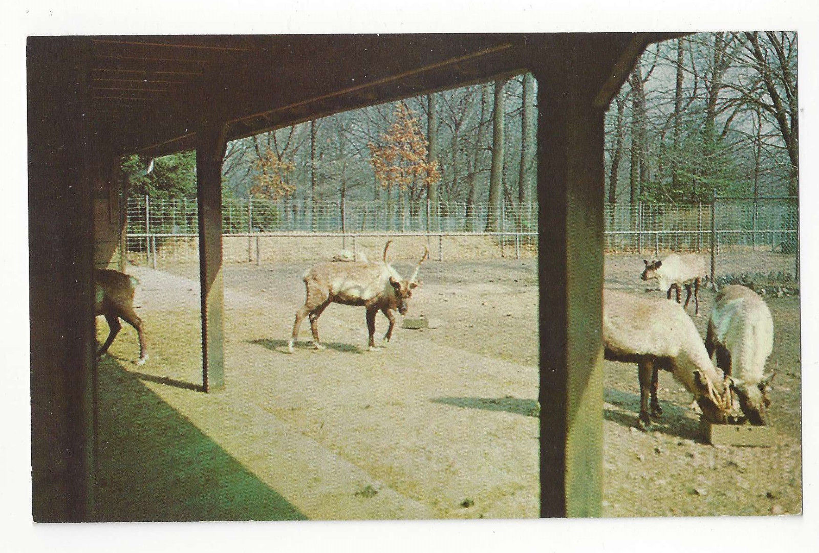 Reindeer Washington DC National Zoo Vtg Curteich Postcard