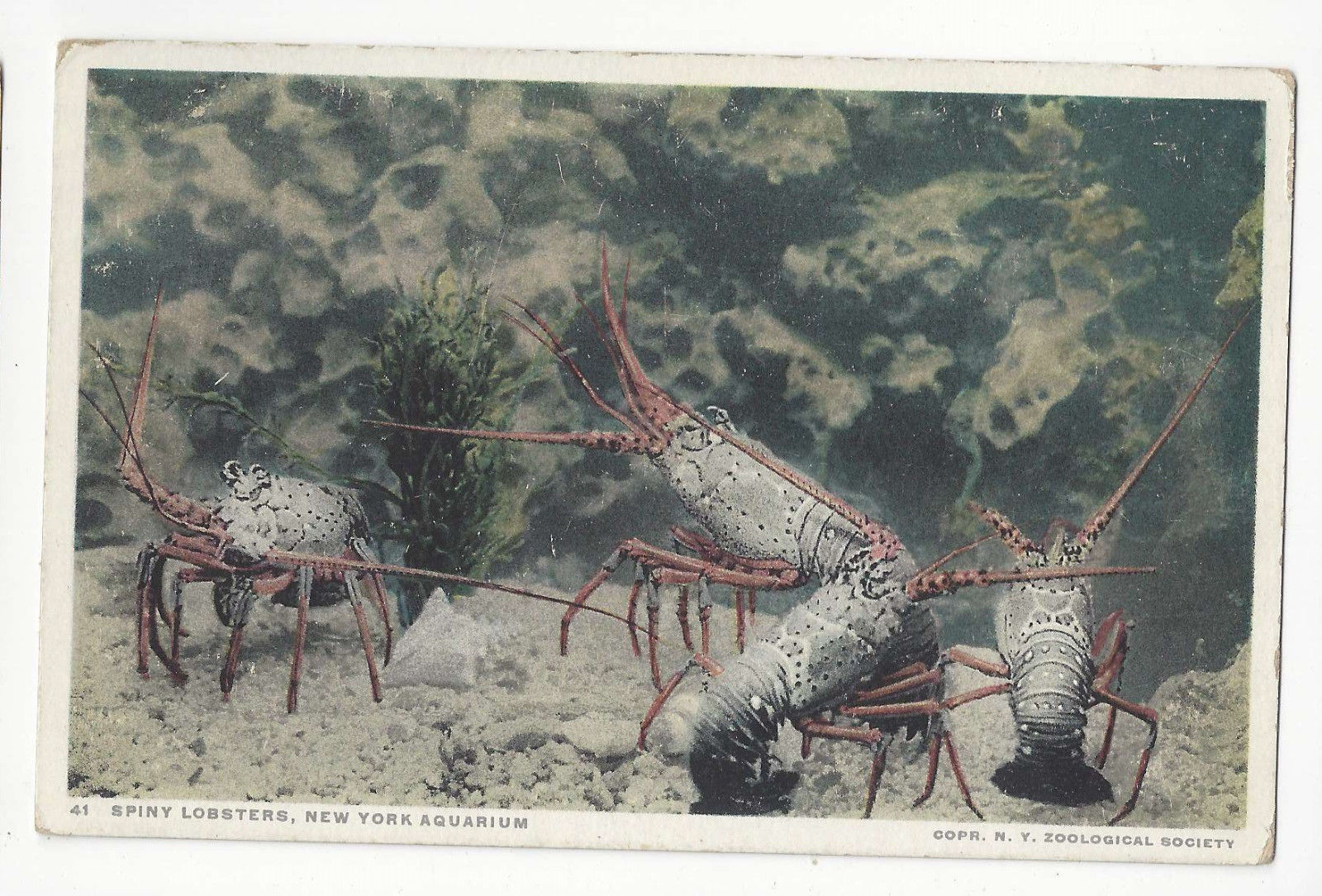 Spiny Lobster New York Aquarium Vintage Zoological Society Postcard