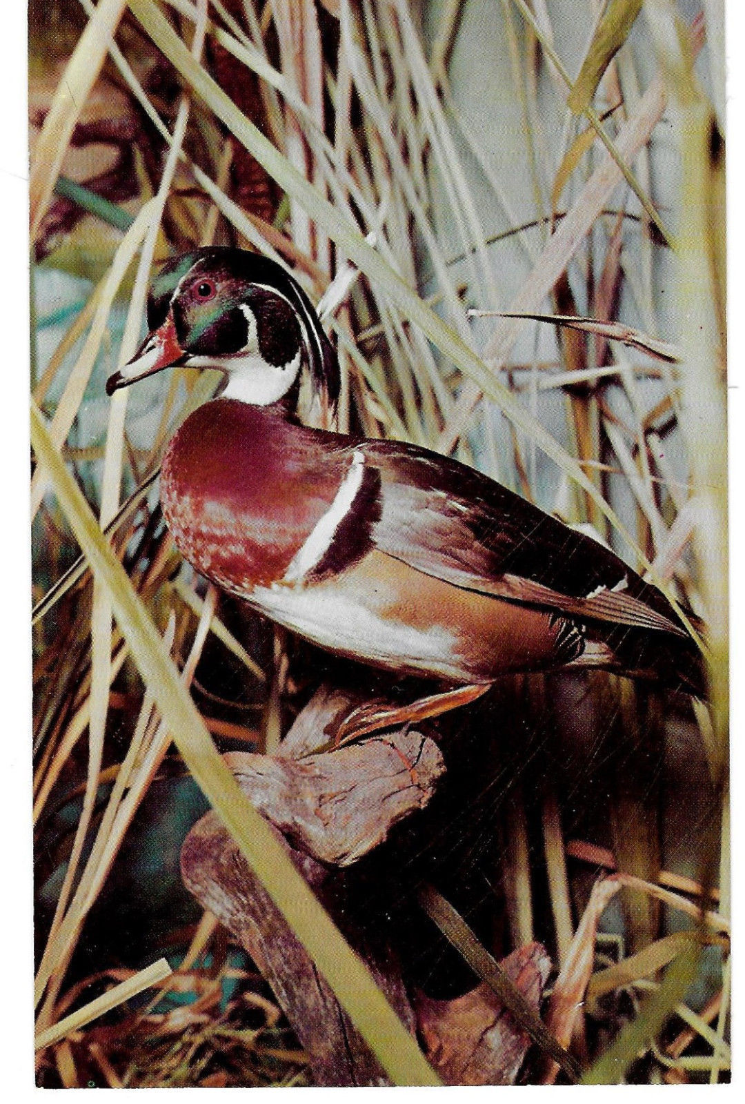 Wood Duck Philadelphia Academy Natural Science Museum Bird Exhibit Postcard