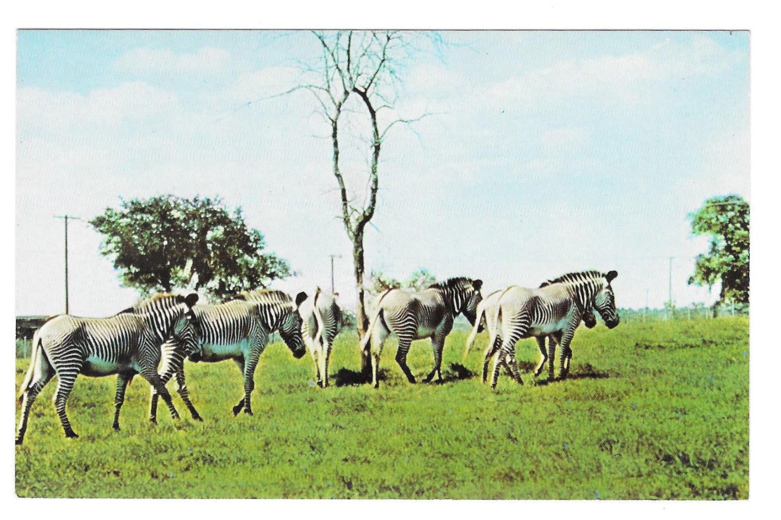 Zebras Busch Gardens African Veld Tampa Florida Vtg Beckett Postcard