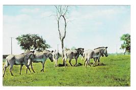 Zebras Busch Gardens African Veld Tampa Florida Vtg Beckett Postcard - $6.36