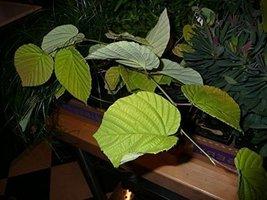 1 Starter Plant of Corylopsis Spicata 'Aurea' - Spike Winter Hazel - $79.20