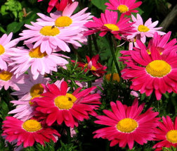 200 Seeds Mix Chrysanthemun Robinson - Painted Daisy Several Shades of Pink - $3.99