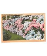 Hydrangeas in Full Bloom Vintage Linen Postcard 1957 Flowers - $4.99