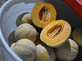 1 Oz Seeds of Hale's Best 36 Melons - $20.79