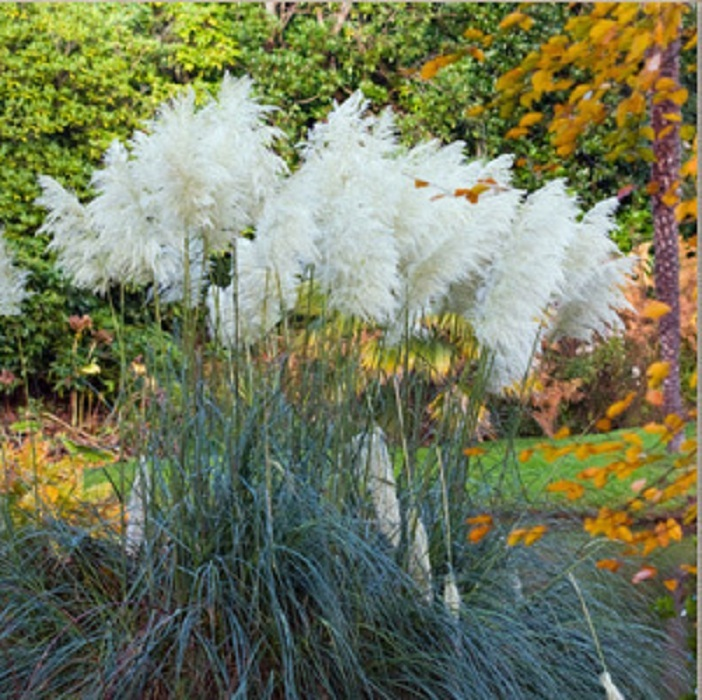 100 White Pampas Grass Seeds Ornamental Cortaderia Selloana Flowers Seeds - $8.50