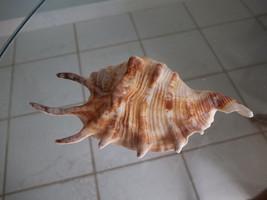 Lambis Lambis Spider Conch Sea Shell Beach Nautical Decor - $6.99