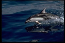 16X20 inch Animal Collection CanvasArt Pacific white-sided dolphin - $23.70