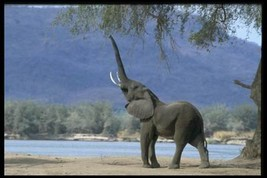 16X20 inch Mammal Collection CanvasArt Elephant eating tree shoots - $23.70