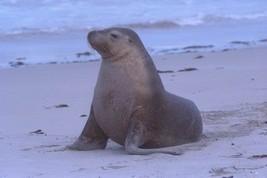 16X20 inch Mammal Collection CanvasArt Sea lion on Kangaroo Island - $23.70