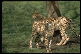 16X20 inch Mammal Collection CanvasArt Cheetahs (acinonyx jubatus) - $23.70