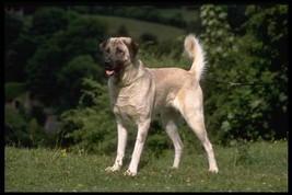 16X20 inch Top 100 Pedigree Dog CanvasArt Anatolian shepherd dog - $23.70