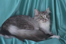 16X20 inch Top 100 PedigreeCat CanvasArt Maine Coon,silver tabby - $23.70